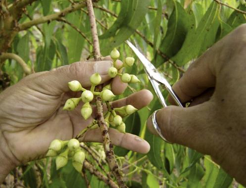 Cenibra desenvolve melhoramento genético em cultivo de eucaliptos